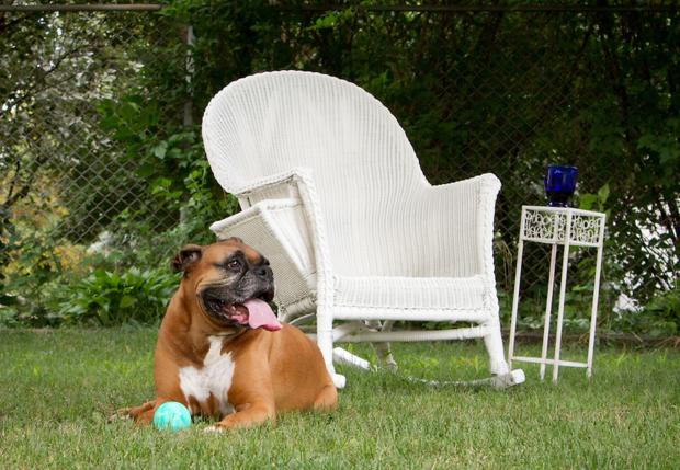 Dog Busy in Backyard