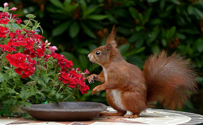 Eichhörnchen im Sichtfeld der Garten-Überwachungskamera